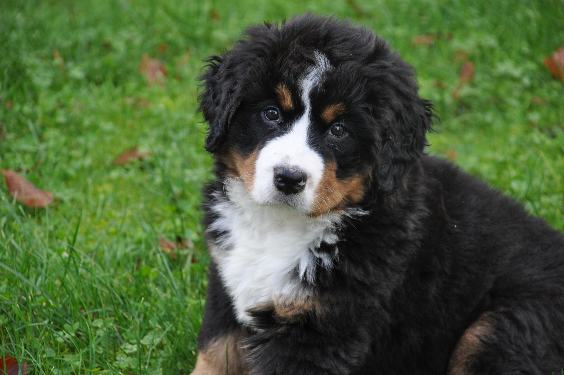 bernese-mountain-dog-1177071_1920