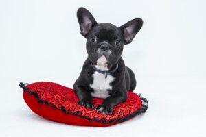 bulldog-1047518_1920