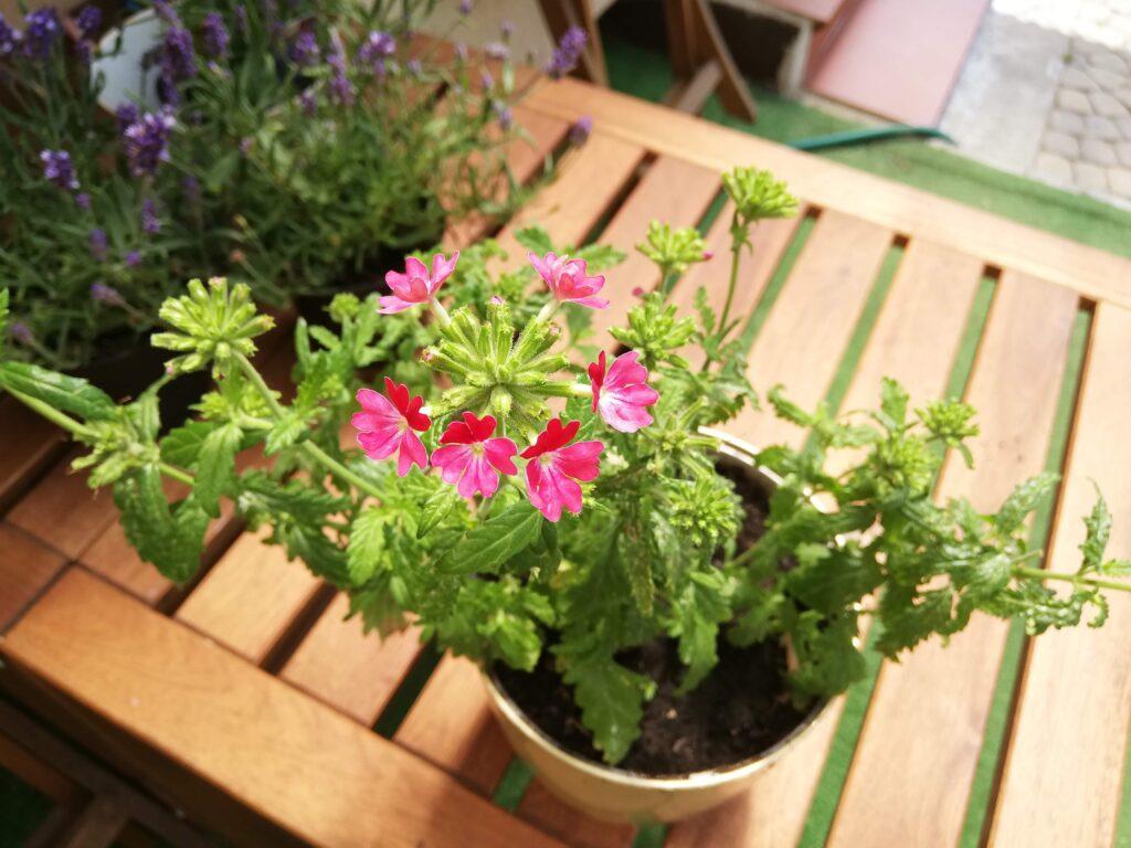 Juz Wiem Jakie Wybrać Kwiaty Na Balkon W Pełnym Słońcu